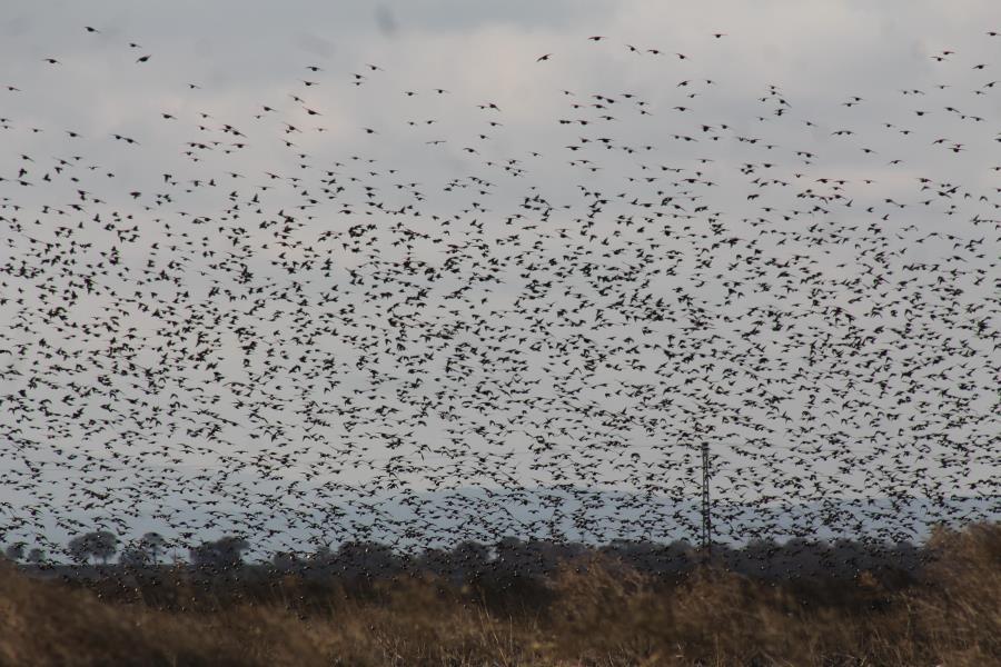 Sığırcık kuşlarından muhteşem dans