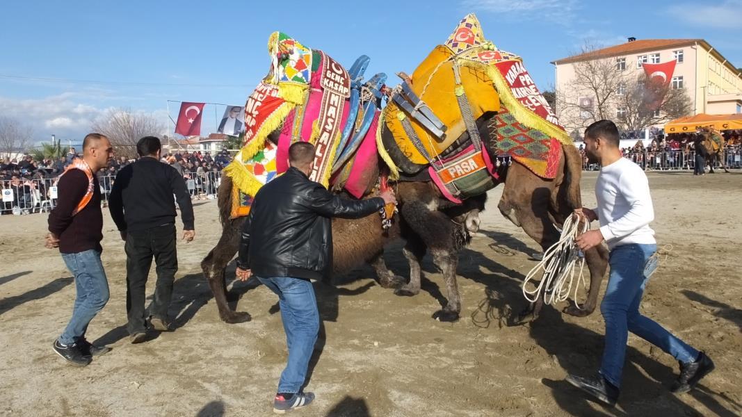 Yılın son deve güreşi Gömeç'te yapıldı