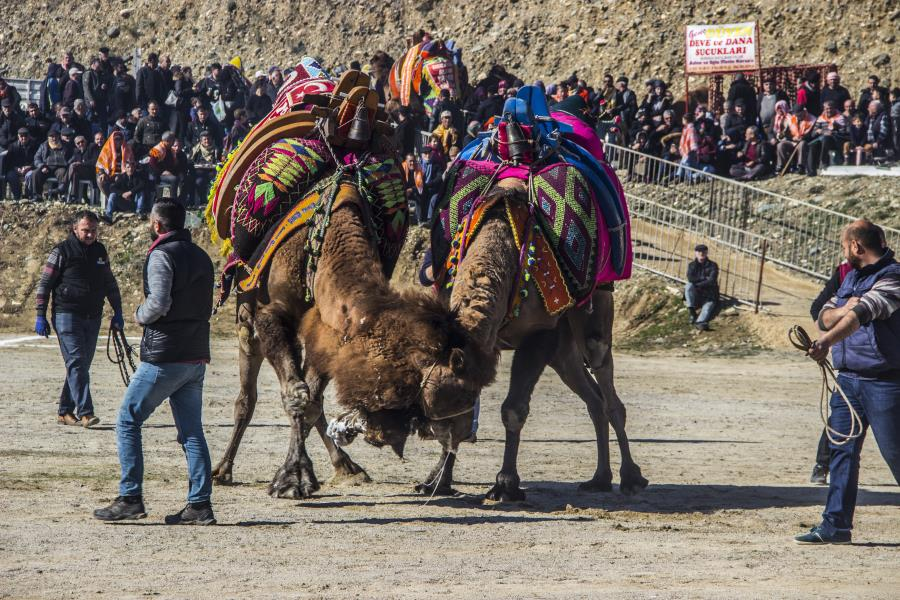 Edremit deve güreşlerine ev sahipliği yaptı