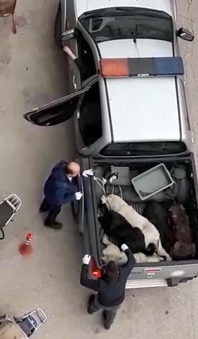 Köpekleri pikap araca istiflediler