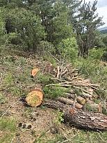 Ormandan kaçak ağaç kesti, para cezası yağdı