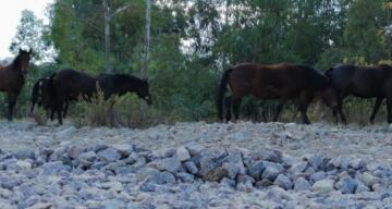 Yılkı atları İzmir'e indi