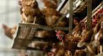 Kuş gribi salgını Japonya'da etkisini arttırıyor