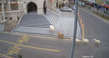 Sürüden kaçan keçi ve koyunlar Nevşehir Belediyesi'ni bastı