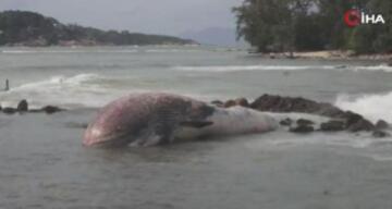 Tayland'da 11 metrelik balina kıyıya vurdu