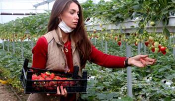 Topraksız tarımla çilek üretip yurt dışına satıyor
