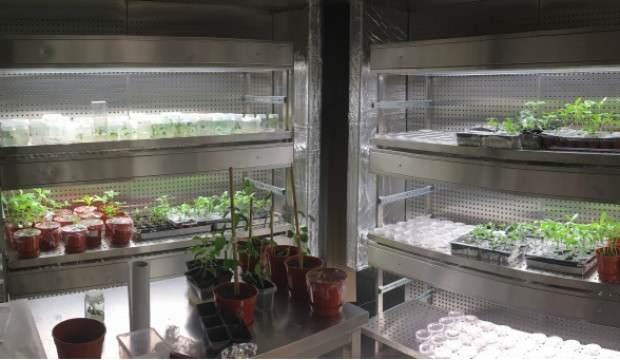 Yüzde 100 saf ayçiçeği tohumunda yerli çözüm